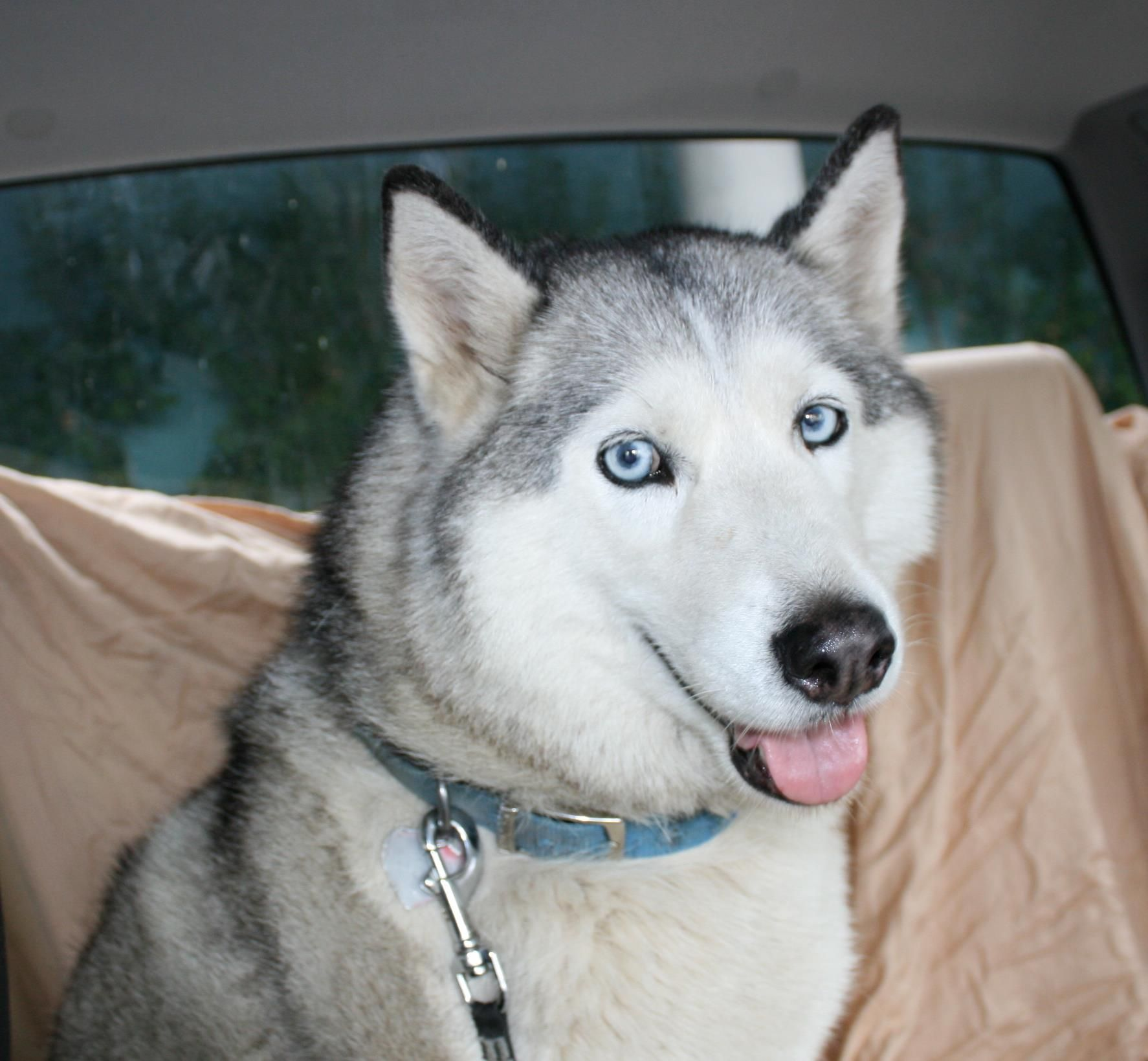 Reward Lost Female Siberian Husky Our Daughter S Dog And Her
