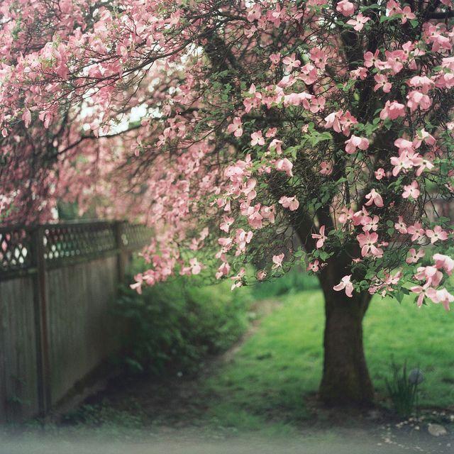 0511 Dogwood trees, Cottage garden, Beautiful tree