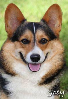 Le Hearts Pembroke Welsh Corgi Breeder Puppies For
