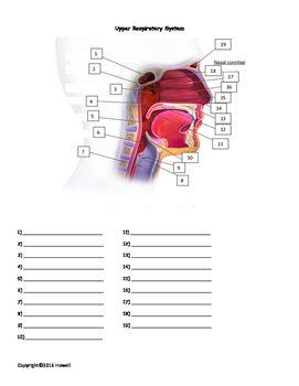 The Upper Respiratory System Quiz or Worksheet | Anatomy