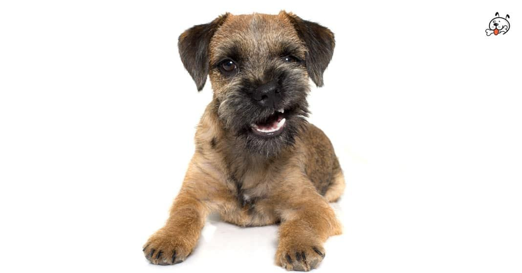 Border Terrier Border Terrier Puppy Puppy Breeds Border Terrier