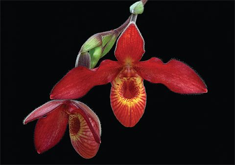 Phragmipedium Andean Fire A Primary Hybrid Within The Genus Phragmipedium Which Is Found In Central And South America T Orchid Photo Orchids Beautiful Orchids
