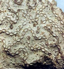 Halysite (Chain Coral) fossil! Extinct. Scientists say it's from the Silurian period, atleast 416 million years old. (Most creationists like myself would beg to differ, but let's just say this lil guy is OLD.) Found one JUST like this on the shores of Lake Michigan! :)