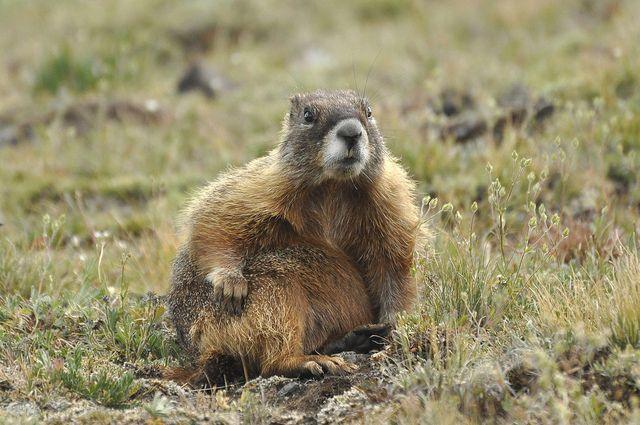 Yellow-bellied Marmot (Marmota flaviventris) DSC0060 by NDomer73, via Flickr