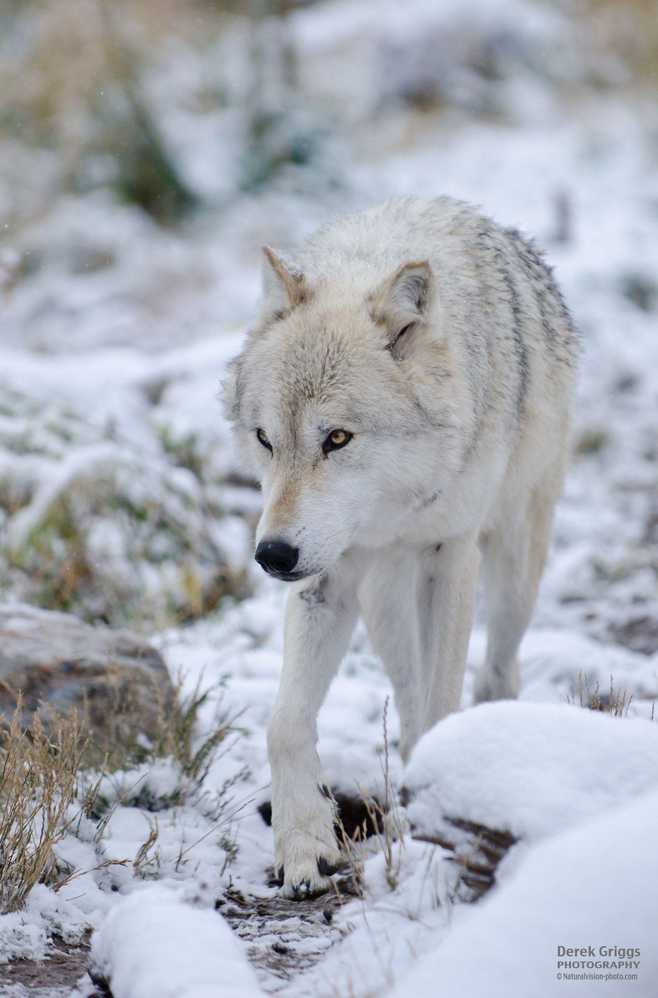 Wolf Im Schnee Grauer Wolf Verliebte Wolfe Wolf Hunde