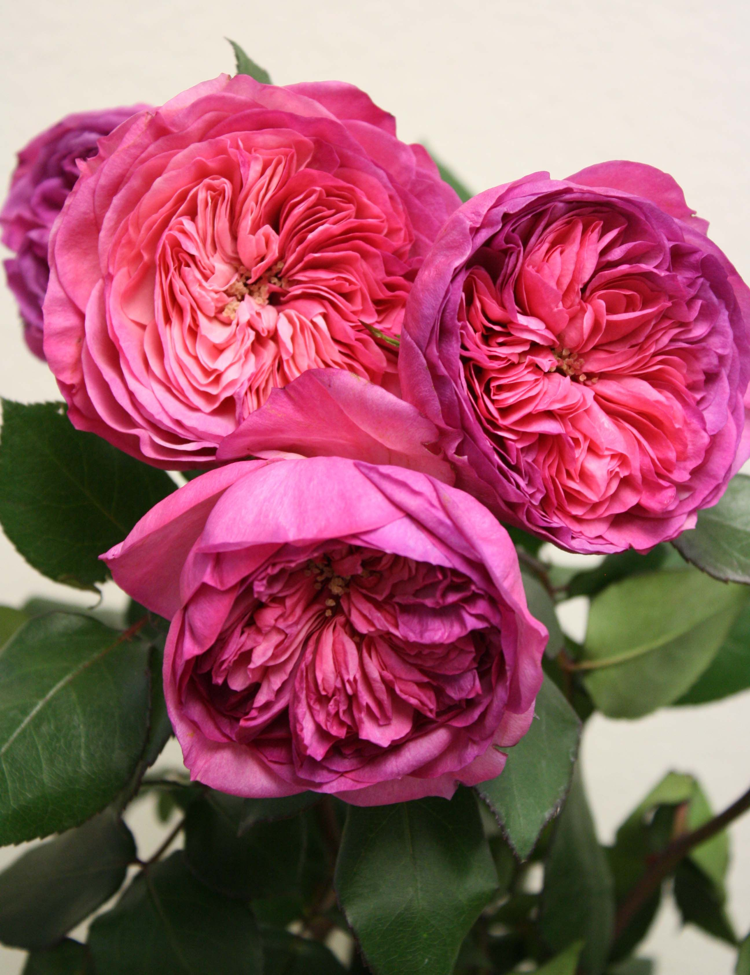 Order David Austin Roses And Other Garden Roses Onlineu2026