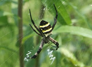 Kogane-gumo (japanese name) /   Argiope amoena (scientific name)