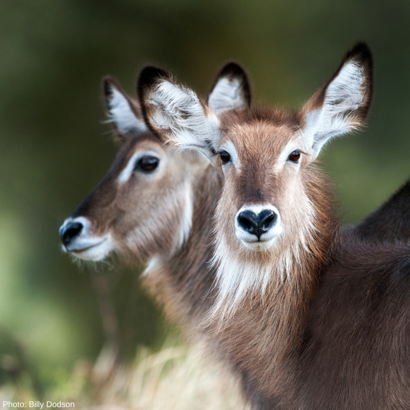 Waterbucks are targeted for both food and sport. African