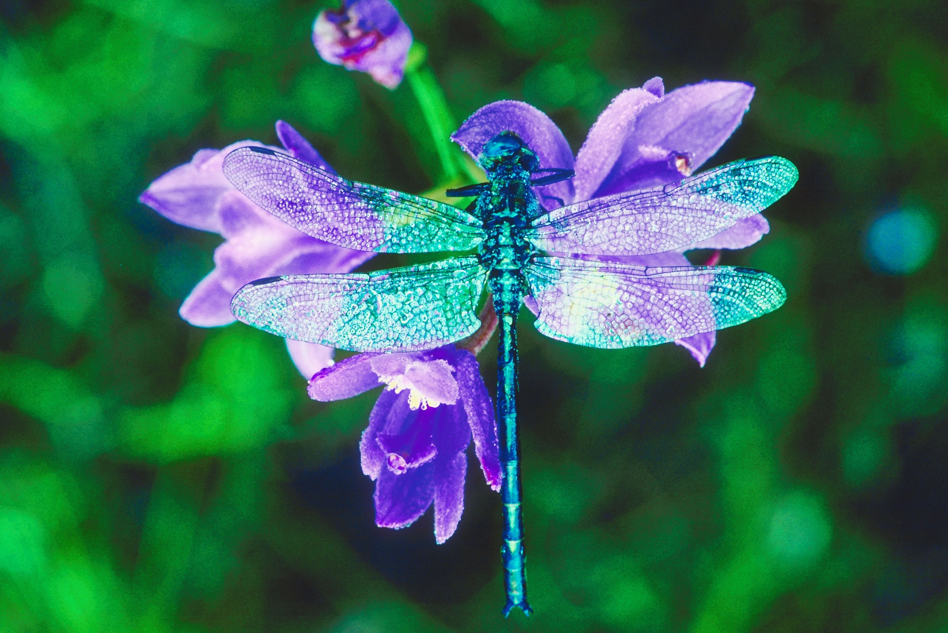 Coloring in dragonflies - Dragonfly Medicine
