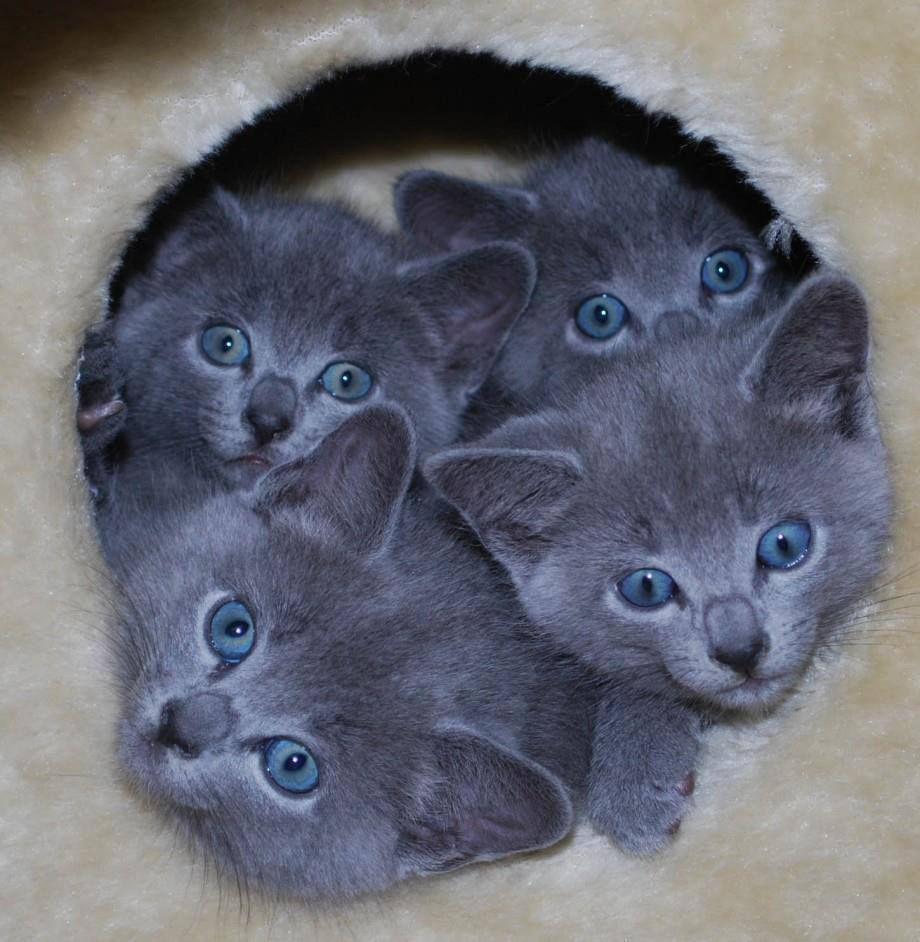 Scottish fold kitten on the prowl dating 1