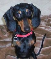 All Available Dachshunds Dachshund Rescue Of North America Dachshund Rescue Dachshund North America