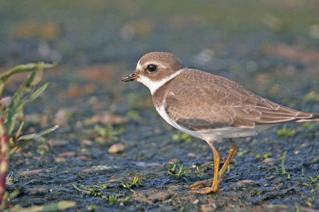 Semipalmated Plover (cmonkey)  on his way south.