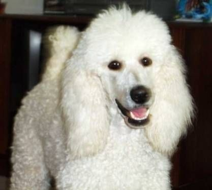 Standard Poodle Puppies For Sale Standard Poodle Puppies For