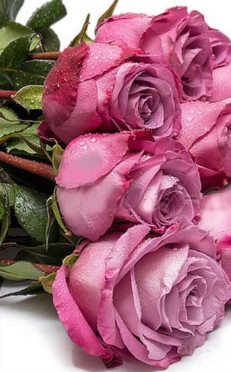 Lovely pink rose flowers pinterest gller lovely pink rose mightylinksfo