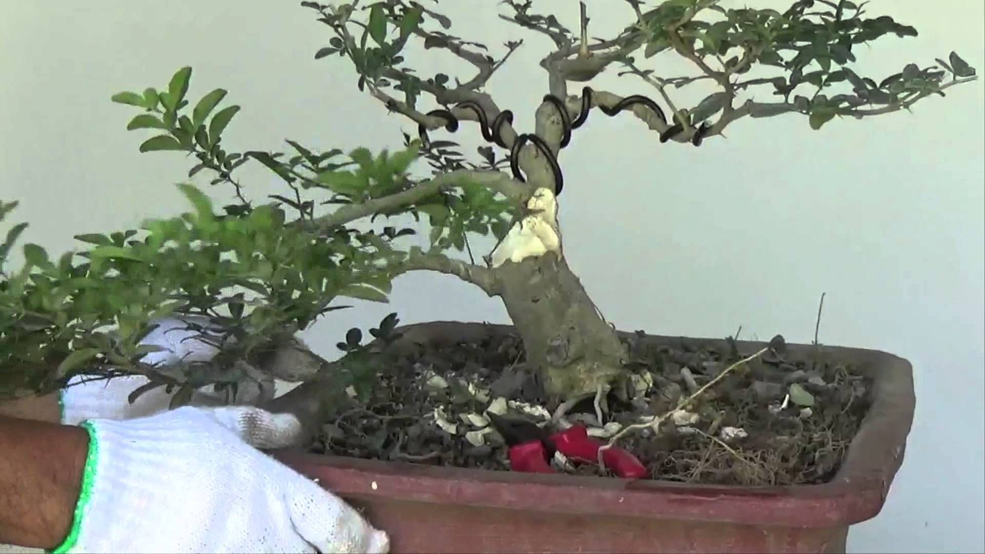 Bonsai Tutorials For Beginners How To Make Trunk Look Fatter Wiring