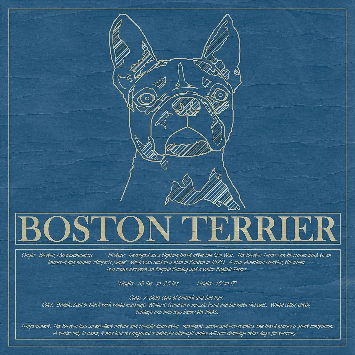 Boston Terrier Friendly And Bright Boston Terrier Boston Terrier Puppy Boston Terrier Owner