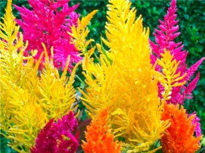 Pampas Plume Celosia Mix Seeds Baker Creek Heirloom Seed Co Pampas Grass Seed Grass Flower Purple Pampas Grass