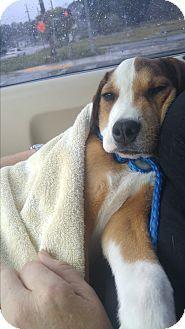 Pin By Cindy Corey On Adoptable Dogs Jax Beagle Beagle Mix Pets