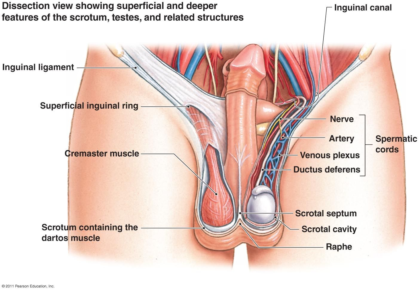 Sexual organs: structure, features