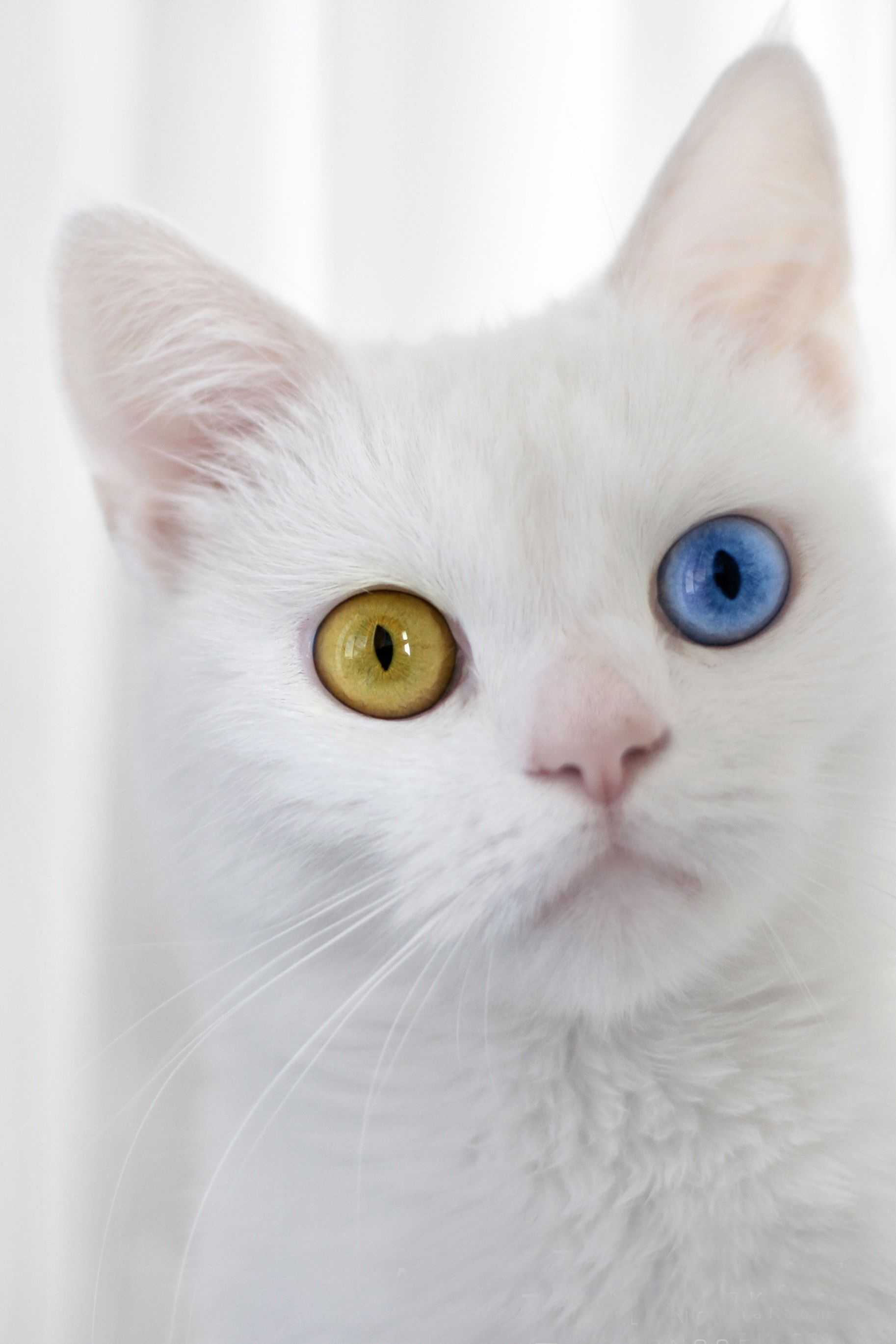 Have you ever met a cat with two different colored eyes