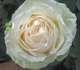 mythos by alexandra farms garden rose varieties - White Patience Garden Rose