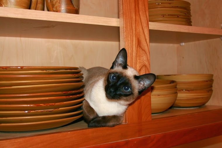 Carolina Blues Cattery Siamese Kittens For Sale Siamese Kittens Siamese Cats Kitten For Sale