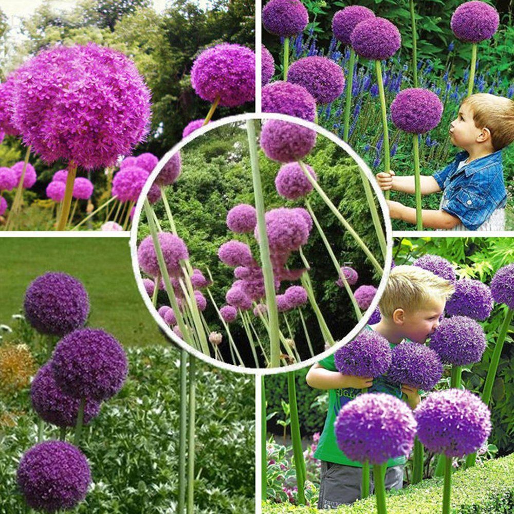 Best Garden Seeds Herilloom Allium Giganteum