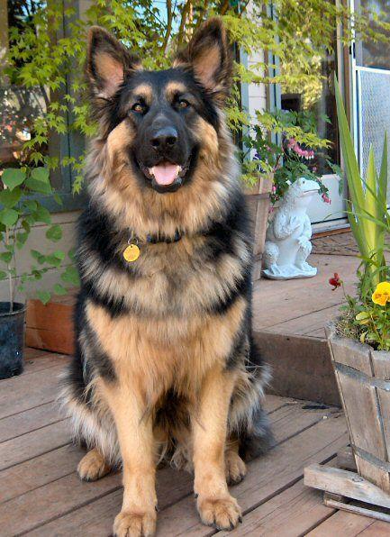 My Future Dog Oversized German Shepherd Briarwood Shepherds