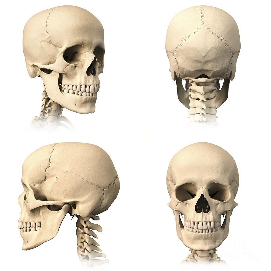 Anatomy Of Human Skull From Different Leonello Calvettig 900900