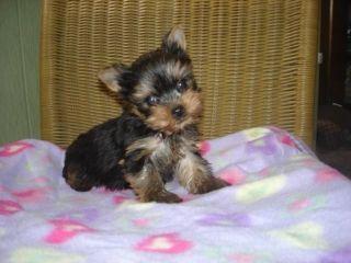 Tony Teacup Pomeranian Puppies- 909-296-7704 #teacuppomeranianpuppy TONY TEACUP POMERANIAN PUPPIES- 909-296-7704 SACRAMENTI For sale Sacramento Pets Dogs #teacuppomeranianpuppy