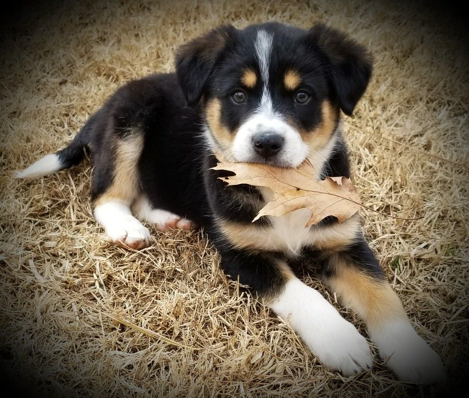 Greater swiss mountain dog mix dog mixes swiss mountain