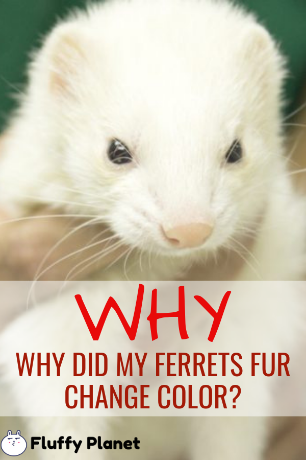 Why Did My Ferrets Fur Change Color 2020 Ferret Color Change Pet Ferret
