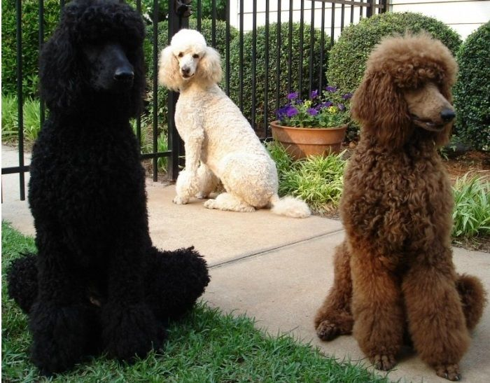 Fun Fido Fact The Poodle Is The National Dog Of France All Hail