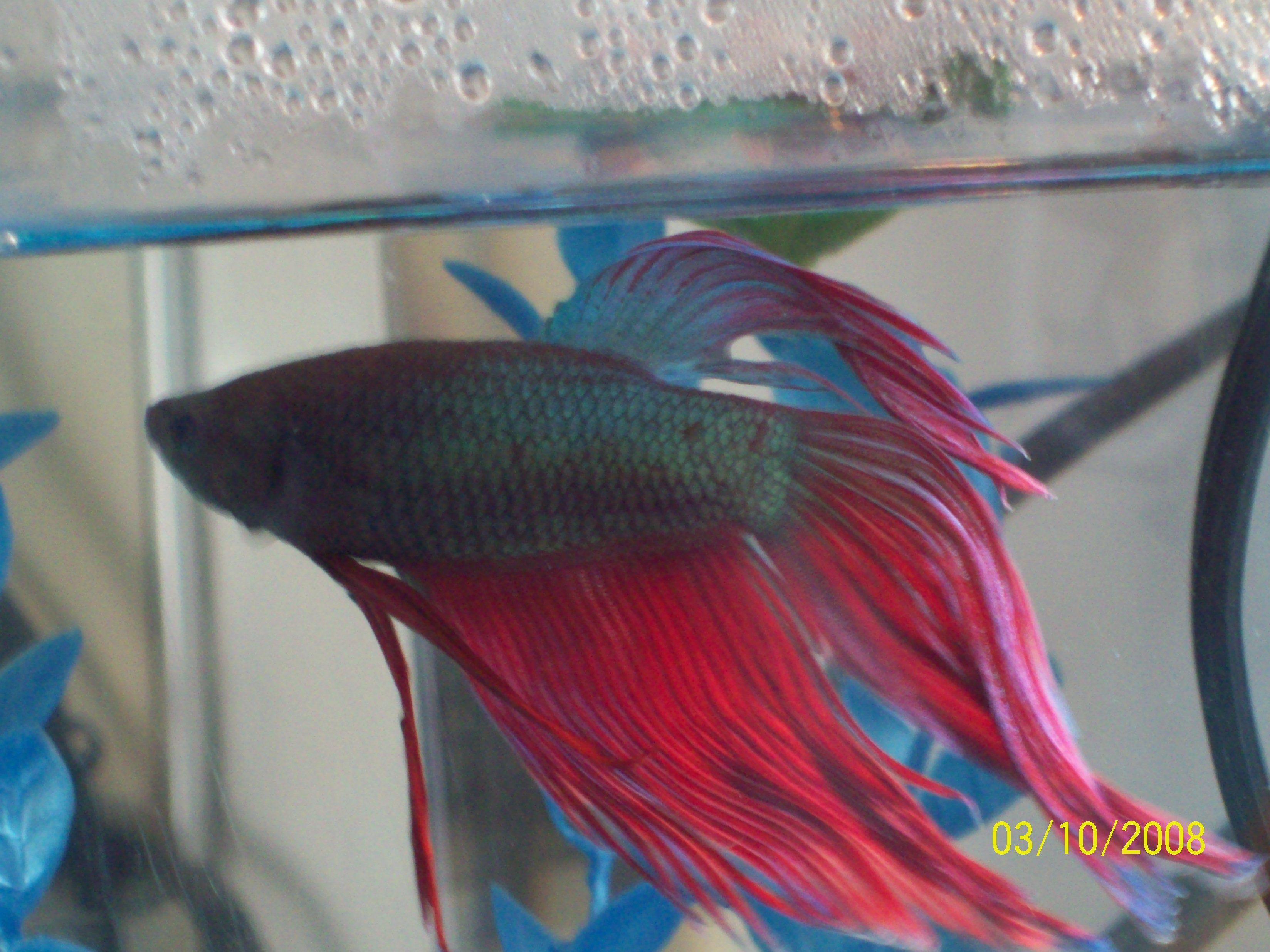 Betta Fish | Betta fish love | Pinterest | Betta fish, Betta and ...