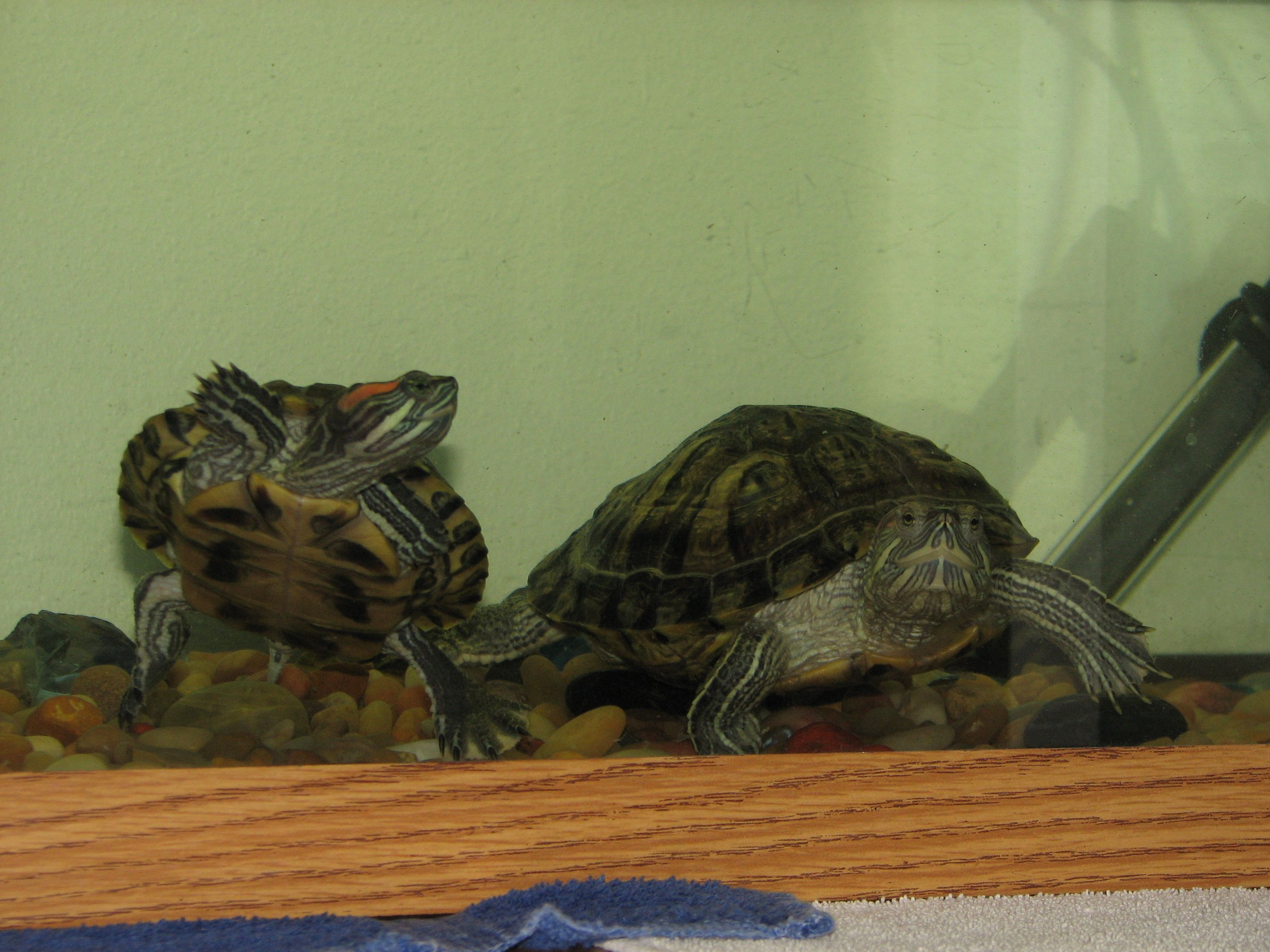 Quique looking at percival my geckos and turtles pinterest geckos