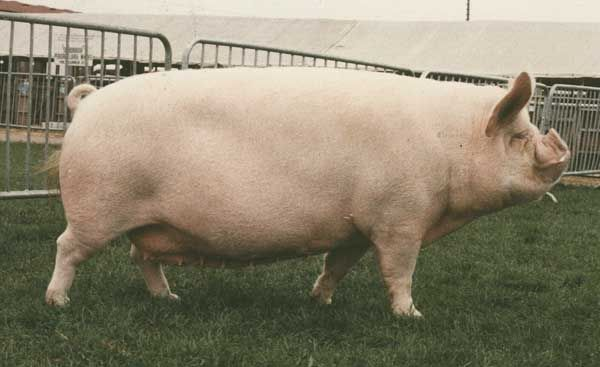 We have Middle White Pigs at Show | Pigs | Pinterest ...