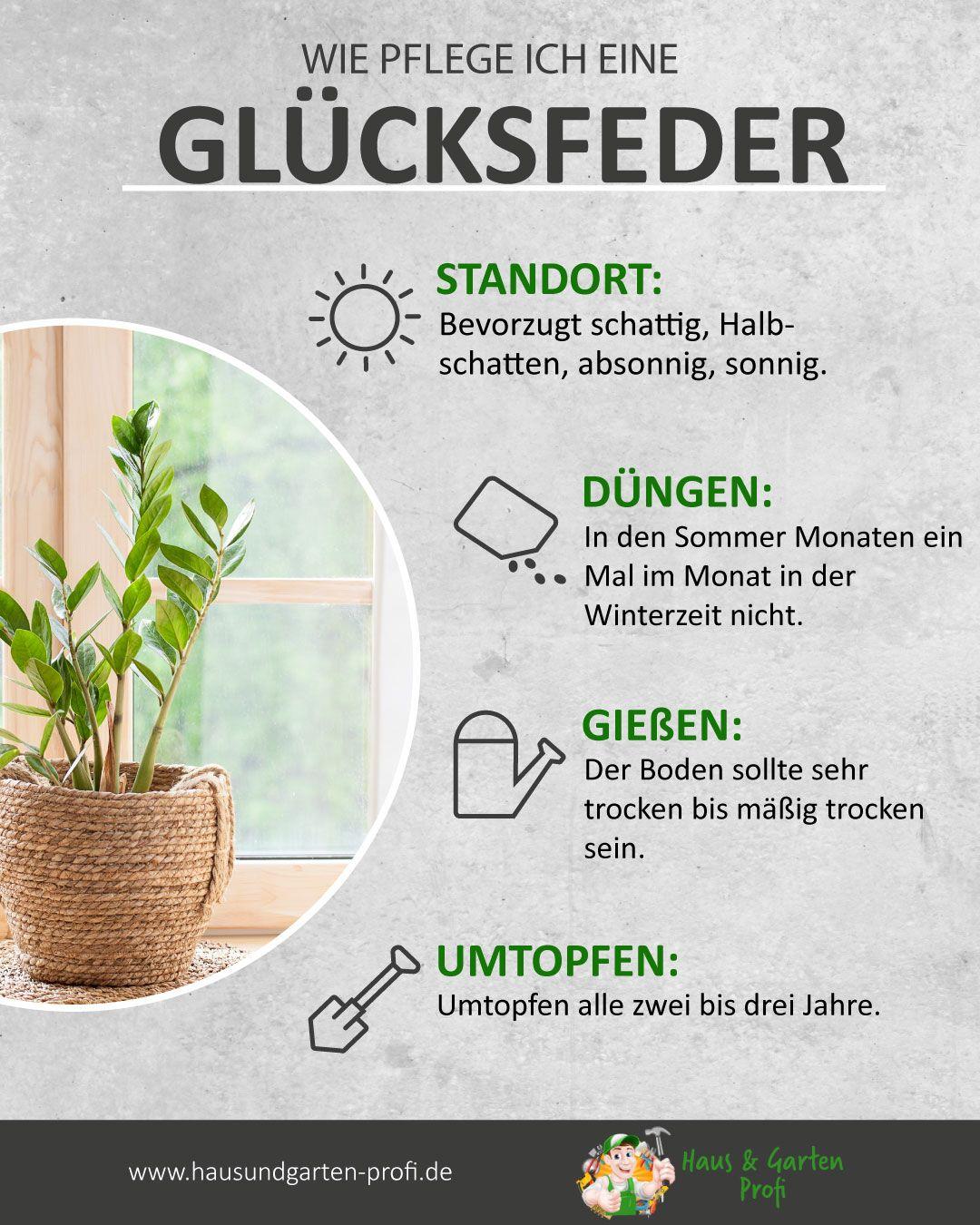 So Einfach Pflegen Sie Eine Glucksfeder Standort Dungen Giessen Umtopfen In 2020 Pflanzen Zimmerpflanzen Pflanzideen