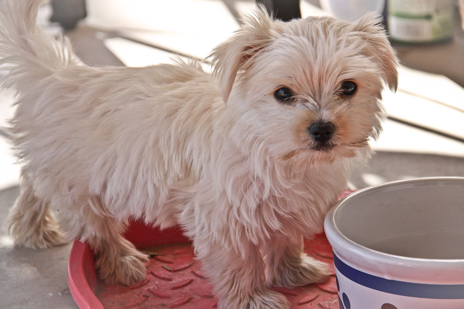 Morkie Puppies For Sale In Ann Arbor Michigan References