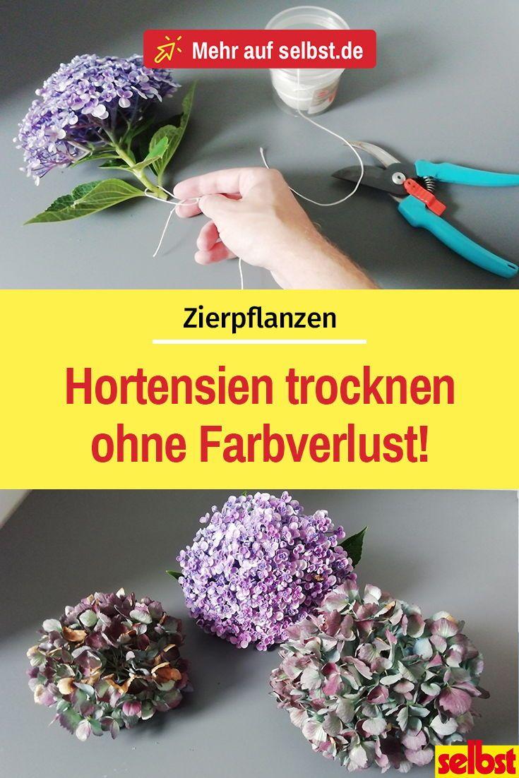 Hortensien trocknen | selbst.de