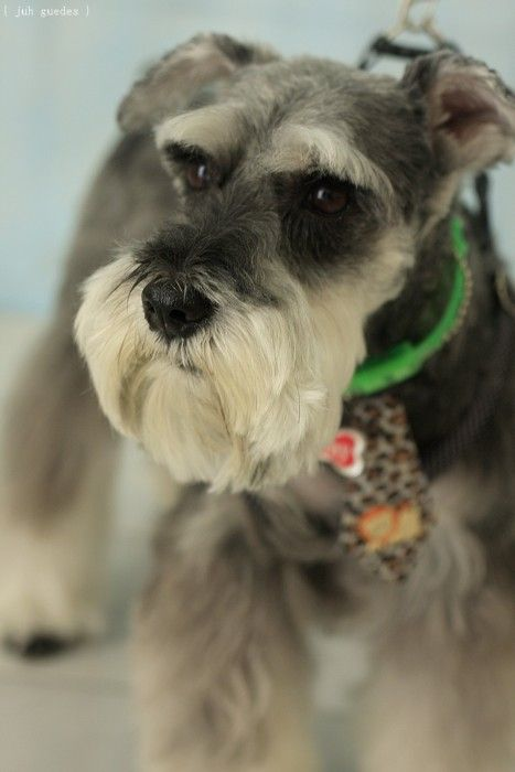 Pin By Wai Kuan Yvonne Tham On Darling Dogs Mini Schnauzer Schnauzer Dogs Schnauzer Grooming