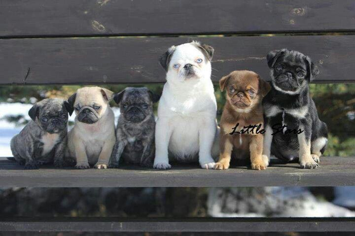 Pugs Of A Different Color Cute Pugs Pugs