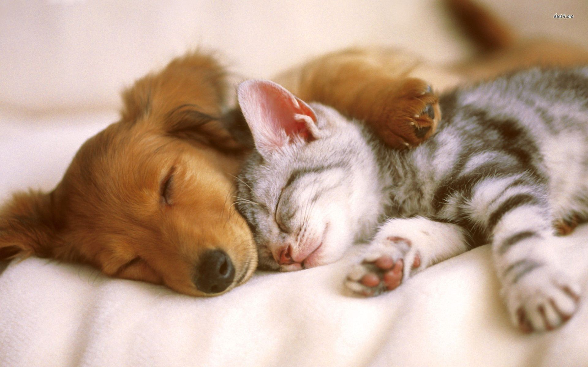 Cute Dachshund Puppy Kitten Sleeping Together Aww So Cute Cute Puppies And Kittens Kittens And Puppies Kittens Cutest