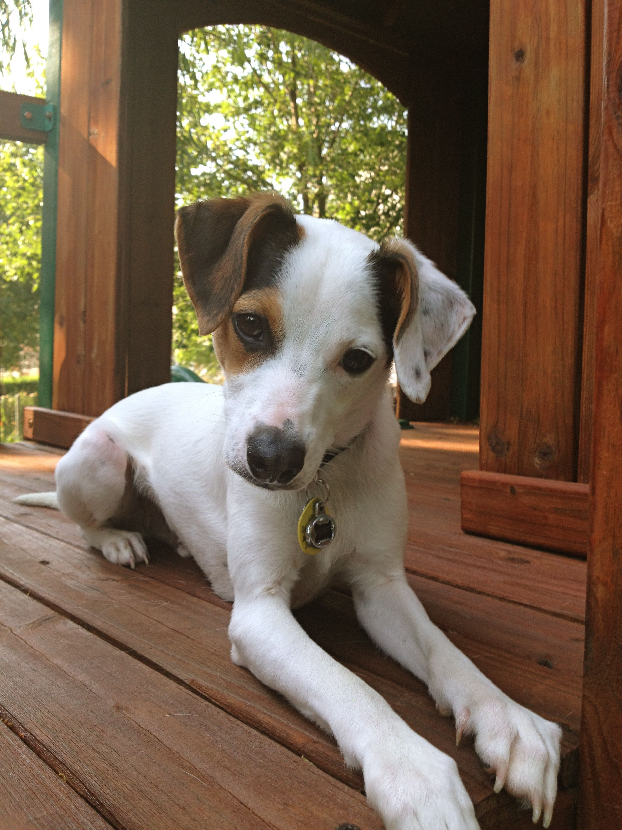 Rat Terrier Pitbull Terrier Rat Terriers Rat Terrier Mix