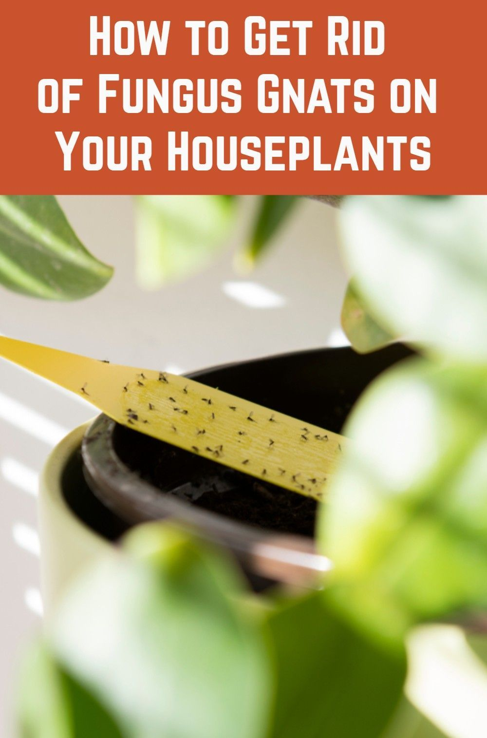 How to get rid of fungus gnats on your houseplants in 2020