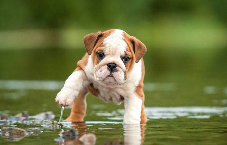 """""""Will you help me get out of this puddle?""""...  Click on this #Bulldog #puppy image to see more adorable #dog pics"""