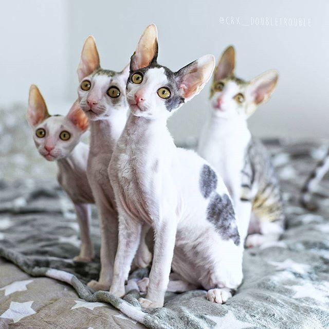 More little #rascals to cheer up your #friday  #fridaythe13th #cornishrex #kitten #kittens #cat #kissa #katze #cornishrexofinstagram #rexesofig #catsofinstagram #weeklyfluff #catweek @tende82