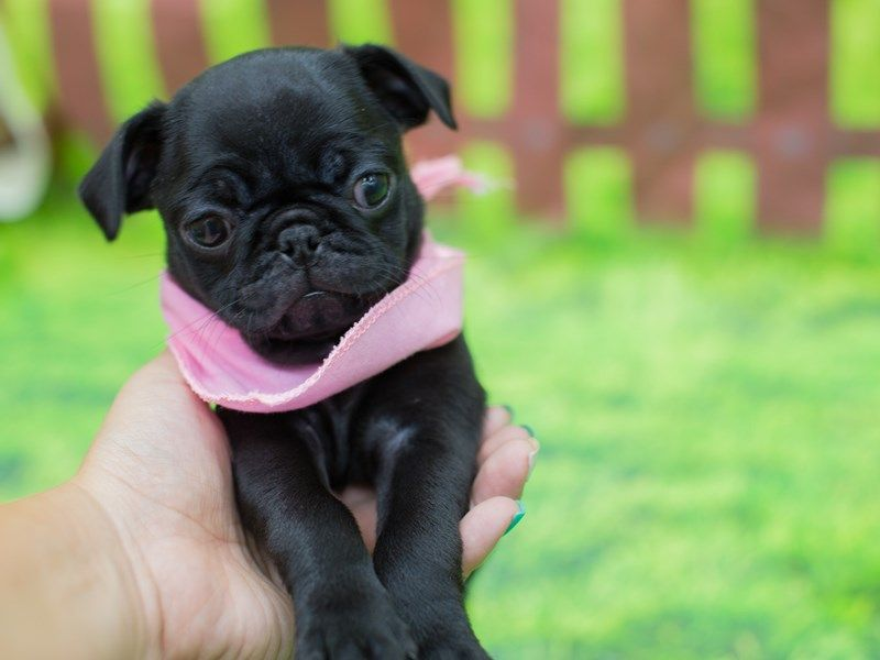 Waabapugs Puppies Has Been The Premier Us Based Pug Puppies