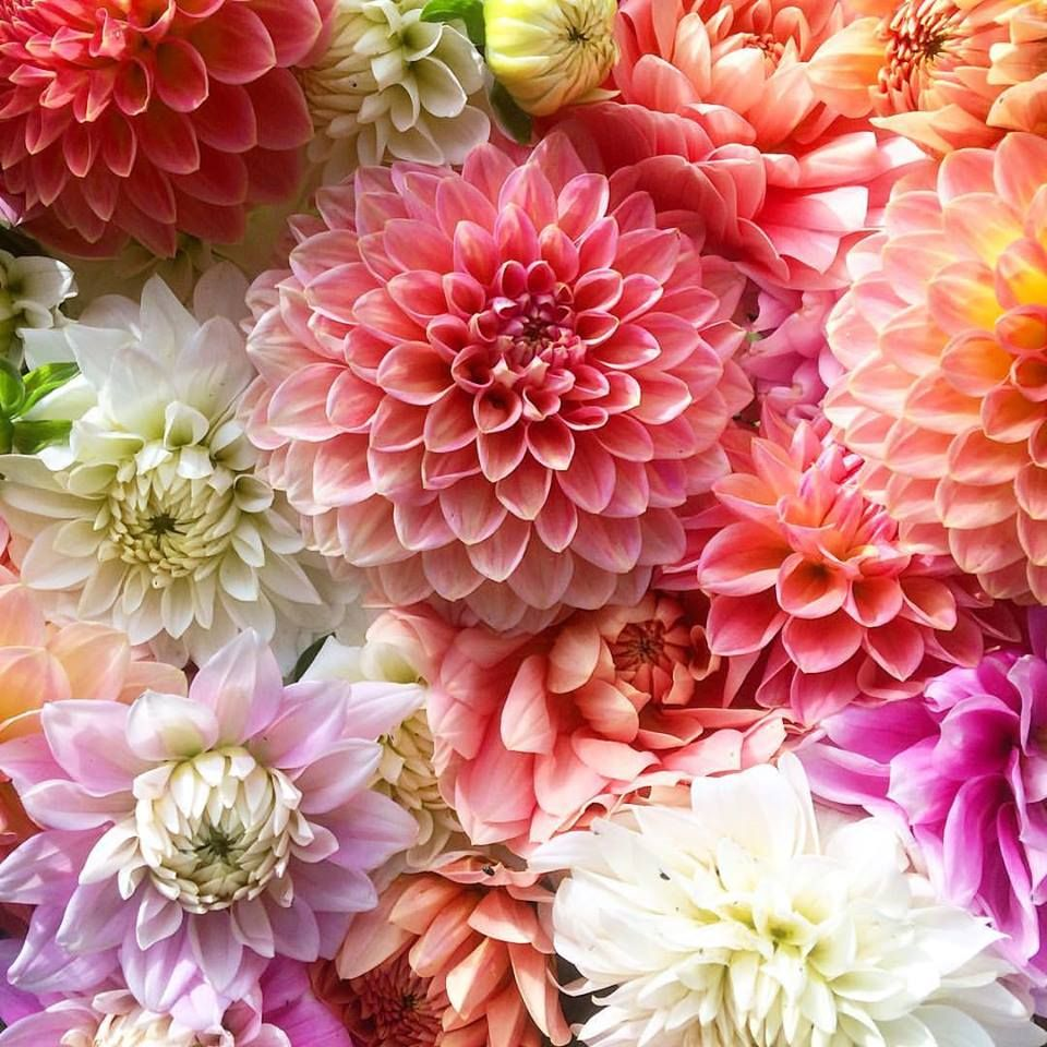 Dahlia Hall Of Fame The Very Best Dahlias To Grow As Cut Flowers