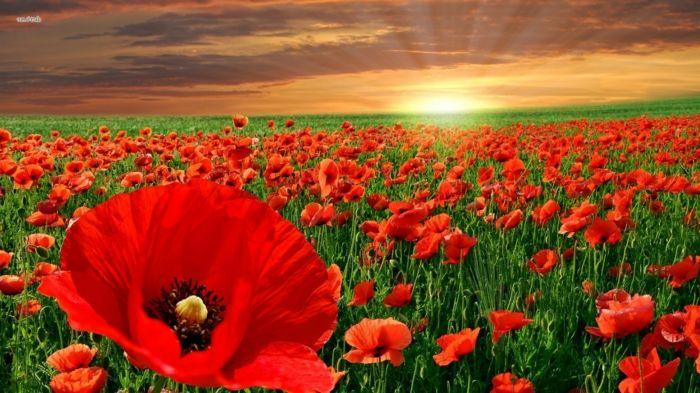 1001 Blumenarten Bilder Und Interessante Fakten Landschaftsbilder Mohnblumen Bilder Und Mohn Rot