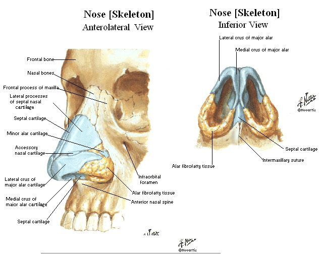 external nose anatomy - Google Search | The head and neck ...